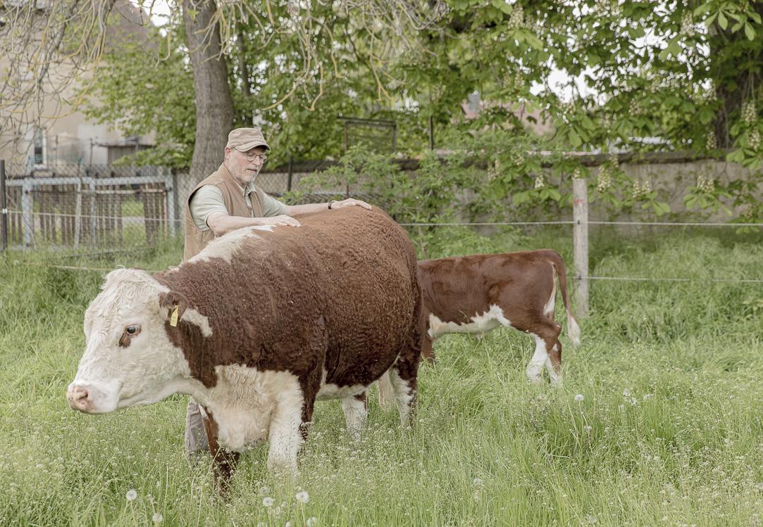 Landwirt Axel Heinze verpasst seiner Kuh eine Rückenmassage