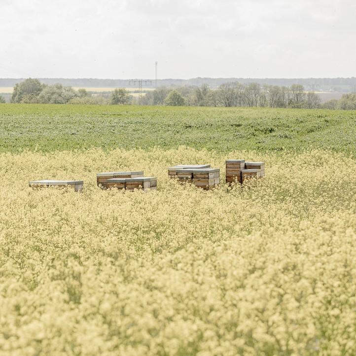 Bienenstock im Rapsfeld